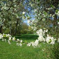 Цветущей вишни запах нежный... :: Galina Dzubina
