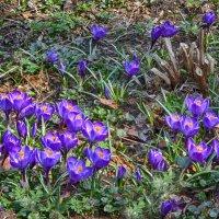 Первые весенние цветы :: Ольга