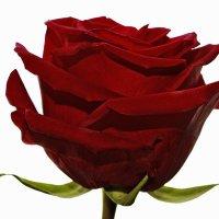 ... бордовая роза - эмблема любви. :-) :: Александр Иванов