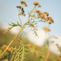 Полевые цветы :: Дарья Воронина
