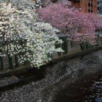 Весна в Японии :: slavado