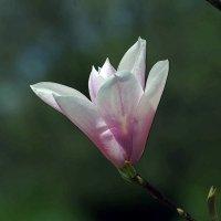 цветок магнолии :: юрий иванов