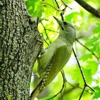 Седо́й, седой зелёный дя́тел, или седоголовый дятел (лат. Picus canus) :: vodonos241