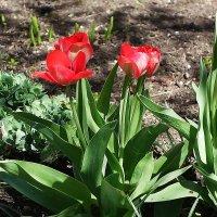 Первые тюльпаны :: Маргарита Батырева