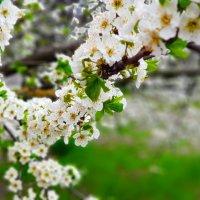 Цветение весны :: Вячеслав Случившийся