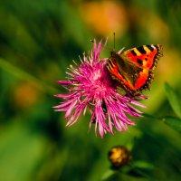 Бабочка на цветке :: Игорь Горшков
