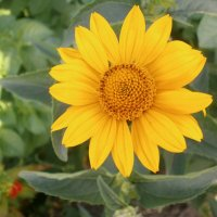 Солнечный цветок :: Вячеслав & Алёна Макаренины