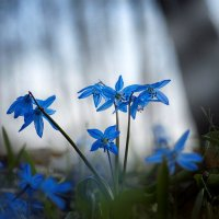 Первоцветы. :: Оксана Ильченко