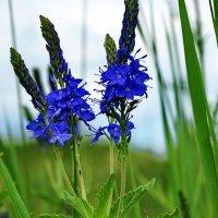 Veronica teucrium  (семейство Scrophulariaceae)Вероника дубровник :: vodonos241