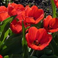 Жар-цветок :: Алла Рыженко