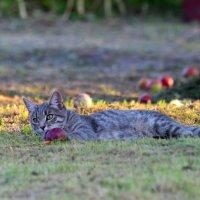 кошка в яблоках :: Надежда Постникова