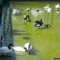 В лебедином пруду :: Нина Бутко