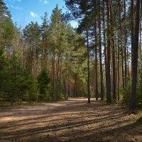 День в сосновом лесу :: Алексей (GraAl)