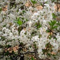 Когда цветет вишня :: Елена Семигина