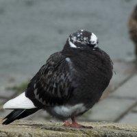 Мокрый голубь :: Максим Журба