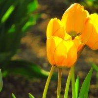 yellow tulips :: mAri