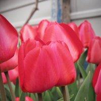 red tulips :: mAri
