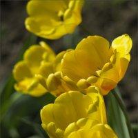 Желтые тюльпаны :: Владимир Стаценко