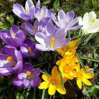 Крокус (шафран)  - весны звоночек! :: Елена Павлова (Смолова)