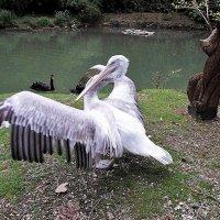 Танцующий пеликан :: Елена Павлова (Смолова)