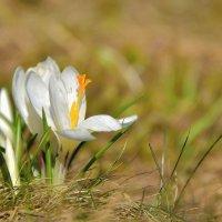 Первые крокусы этой весны :: Olcen Len