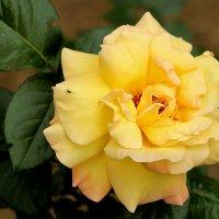 Портрет первой желтой красавицы этой весны :: Светлана