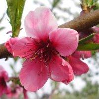 Цветок персика :: Светлана Z.