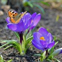 Бабочка и крокусы :: Константин Анисимов