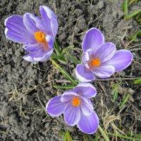 Расцвели в саду шафраны :: Galaelina ***