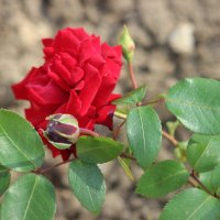 роза :: Димончик