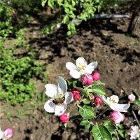 Цвет яблони :: Алла ZALLA