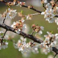 сады цветут :: Viktoriya Bilan