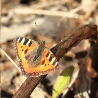 Бабочки проснулись! :: ninell nikitina