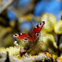 павлиний глаз на апрельской пыльце 5 :: Александр Прокудин