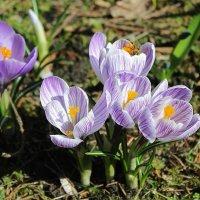 Весенние цветы :: tat