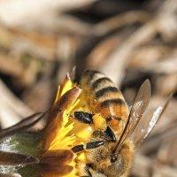 Пчела. :: Александр Романов