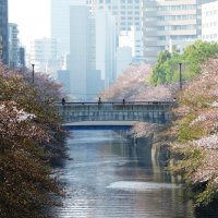 Цветущая сакура на берегах реки Мегуро в Токио :: Tatiana Belyatskaya