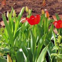 И расцвели тюльпаны - в наш дом пришла весна! :: Валентина ツ ღ✿ღ