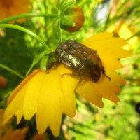 Жук на цветке :: Лариса