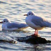 Чайки :: Ольга (crim41evp)