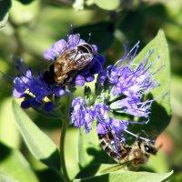 Пчелки на кариоптерисе :: Татьяна Ларионова