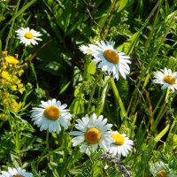 В поле ромашки цветут :: Валентина Пирогова