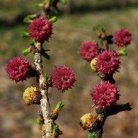 Цветы лиственницы :: Зоя Мишина
