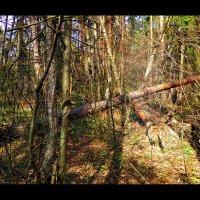 Тихо в лесу, только... :: Alex Sash