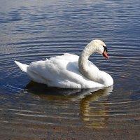 Одинокий лебедь на озере :: Маргарита Батырева