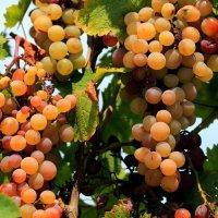 Мускатный виноград :: Павел