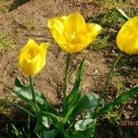 желтые тюльпаны--вестники разлуки :: Люша