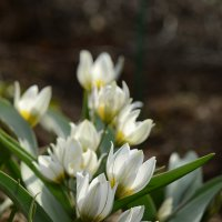 Тюльпан ботанический polychroma :: Vera_85916050