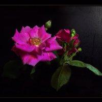 Эти розы, как волшебницы, завораживают нас... :: Людмила Богданова (Скачко)
