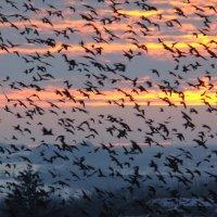 Грачиная туча на закате :: Syntaxist (Светлана)